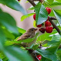 Ako vyhnať vrabce zo záhrady a zo strechy? Vyskúšajte pasce, plašič alebo tmel na odpudzovanie
