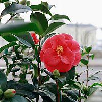 Mrazuvzdorná japonská kamélia – pestovanie v byte i v záhrade, prezimovanie, choroby