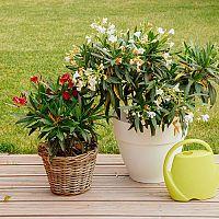 Oleander pestovanie, rozmnožovanie, strihanie, choroby, prezimovanie. Aké hnojivo a zeminu?