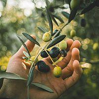 Mrazuodolný olivovník – pestovanie v črepníku, hnojivo, rozmnožovanie, rez, prezimovanie