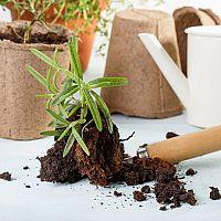 Ako pestovať rozmarín v byte – výsadba, strih/ tvarovanie, choroby, zber, sušenie