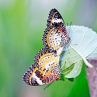 Ako chovať motýle – aké druhy sú na chov vhodné, čím ich kŕmiť, aké prostredie im vytvoriť