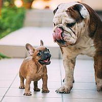 Pes do bytu. Aké sú najlepšie malé plemená psov?