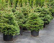 Prenájom živých vianočných stromčekov aj tento rok v Bratislave a Košiciach