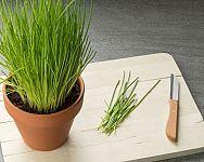 Ako pestovať pažítku? Sadenie, polievanie, uskladnenie