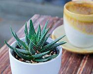 Pestovanie Aloe Vera zo semienka - substrát, choroby, polievanie
