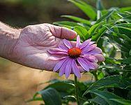 Echinacea – pestovanie a starostlivosť. Jej účinky sú neoceniteľné