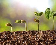 Sadenie mrkvy, hrachu, fazule, cibule či kalerábu – kedy a ako