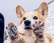 Ako sa v zime starať o psie labky?