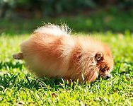 Vulkanické kamene pre psov alebo ako neutralizovať psí moč
