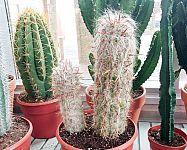Zimovanie a starostlivosť o kaktusy a sukulenty v zime
