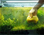 Ako vyčistiť akvárium od rias – čierna riasa, zelená riasa, žabí vlas. Ako si s nimi poradiť?