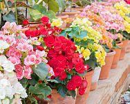 Ako pestovať begónie – starostlivosť, polievanie, rozmnožovanie