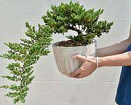 Ako vypestovať bonsaj zo semien, kedy presadiť? Strihanie, tvarovanie, zálievka