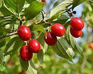 Ako pestovať drienku (drieň obyčajný) – rozmnožovanie, vysádzanie, odrody