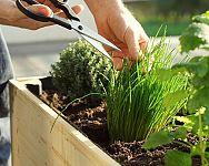 Ktoré bylinky sa neznášajú? Aké bylinky sadiť vedľa seba v kvetináči