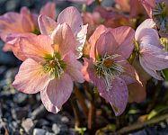 Čemerica v kvetináči i v záhrade – pestovanie zo semena, vhodná pôda, starostlivosť