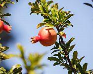 Mrazuvzdorné granátové jablko – pestovanie zo semienka vonku i v črepníku