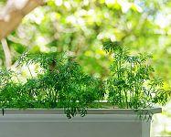 Kôpor voňavý – pestovanie v črepníku v byte. Spracovanie, skladovanie, liečivé účinky kôpru
