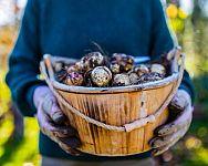 Topinambury – sadenie, pestovanie, zber. Kedy ich vyberať a ako čistiť?
