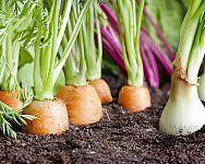 Ako si založiť zeleninovú záhradu – rady pre začiatočníkov