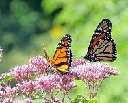 Ako prilákať do záhrady motýle – vhodné kvety a kríky pre motýle