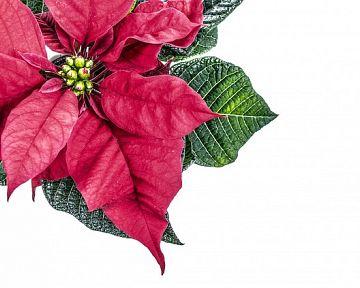 Vianočná ruža - pestovanie, kvitnutie, rozmnožovanie, starostlivosť