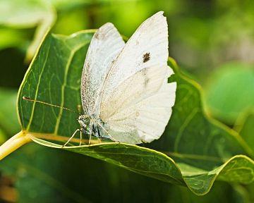 Mlynárik kapustový – aký postrek funguje na húsenice a motýle?