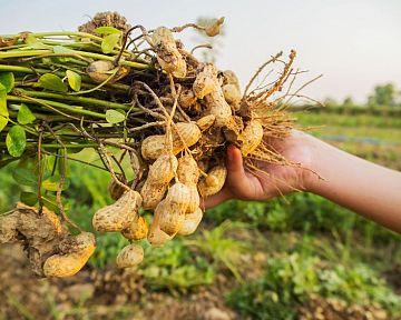 Ako pestovať arašidy zo semena – rozmnožovanie, zber, spracovanie