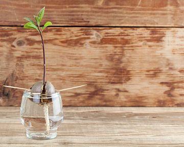Ako vypestovať avokádo doma v kvetináči? Pestovanie z kôstky je možné aj v zime