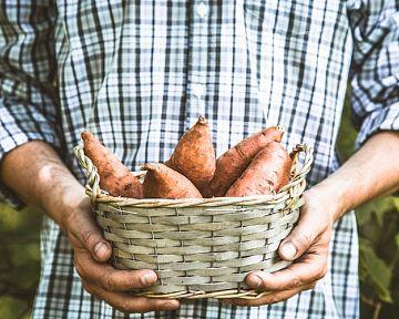 Bataty – pestovanie v kvetináči i vonku v záhrade. Kde kúpiť sadenice batatov?