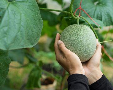 Ako pestovať dyne a melóny? Stanovište, zálievka, pôda, hnojenie, rozmnožovanie