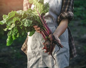 Ako správne pestovať cviklu/červenú repu – sadenie, polievanie, hnojenie, zber