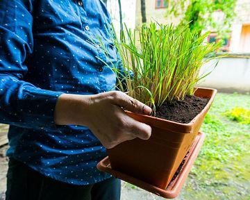Pestovanie vôňovca – ako zakoreniť citrónovú trávu v kvetináči, rozmnožovanie, prezimovanie